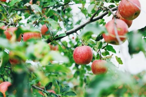 りんご500pix.jpg